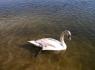 Изборск. Лебедь на Городищенском озере