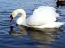 Изборск. Городищенское озеро. Лебеди