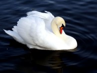 Лебедь на Городищенском озере
