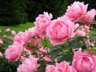 Цветут ли розы на Розовой?